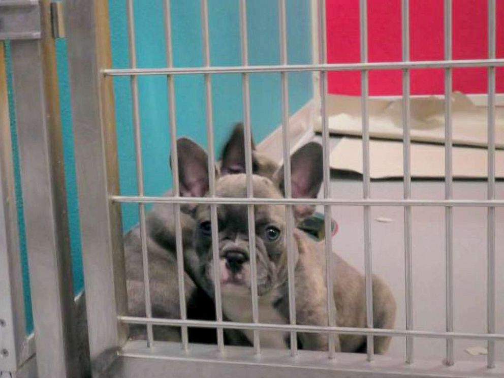 PHOTO: A Lavender French Bulldog shown in a veterinary facility at JFK. Officials say the dogs imported from Egypt are underage and come from bad conditions, but could be worth $10,000 in the U.S.