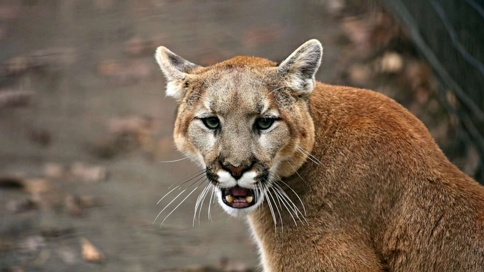 Girl, 6, attacked by mountain lion, saved by adult who punched cat in ribs during mauling