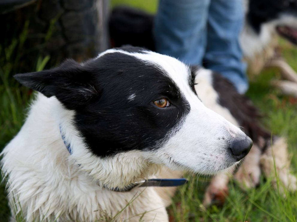 PHOTO: Rob, a Border Collie, pictured resting after herding sheep.