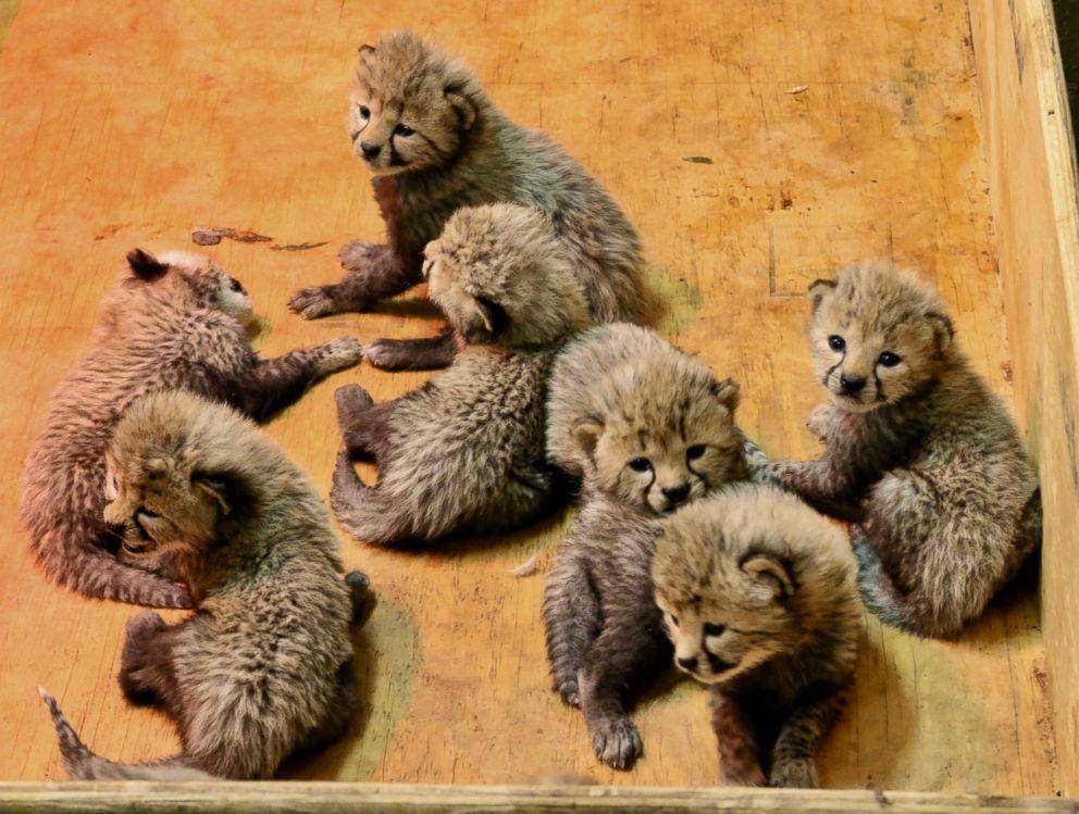 cheetah welcomes 8 cubs at st louis zoo abc news
