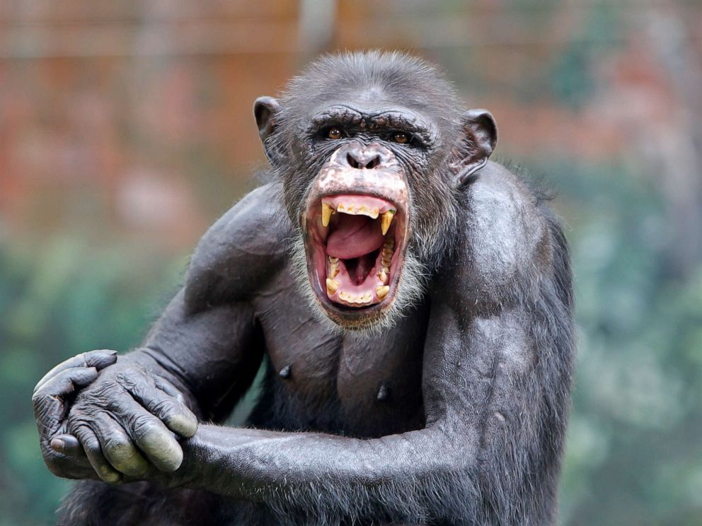 PHOTO: A chimpanzee smiles in this stock photo.