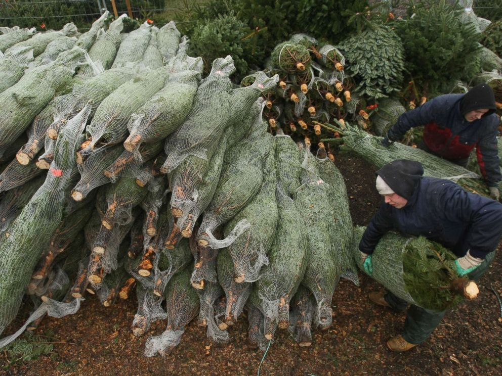 PHOTO: Workers at an outdoor Christmas tree market prepare Christmas trees for sale.