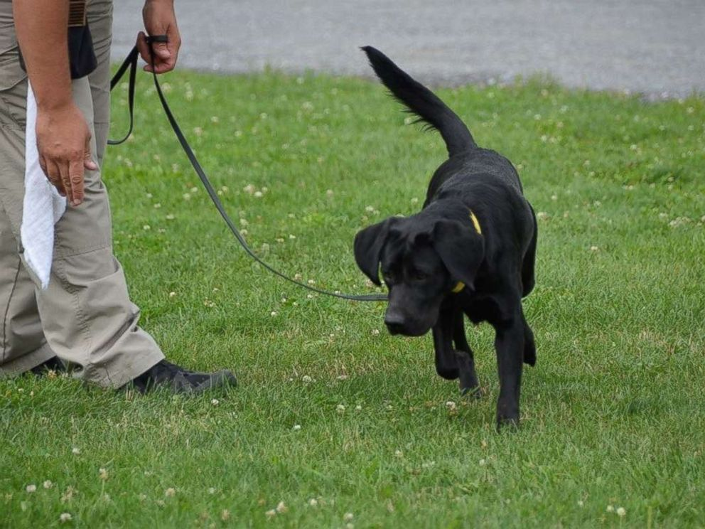 PHOTO: Dog Suni runs through the grass during the CIA Fall 2017 Puppy Class initial evaluations.