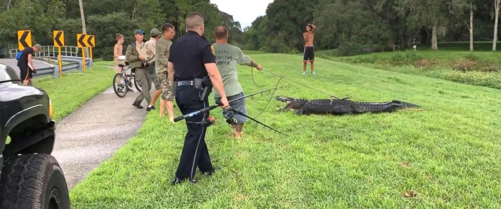 PHOTO: A 35 year-old man was bitten by 11-foot alligator while retrieving disc golf from a pond at Clearwater park, Fla.
