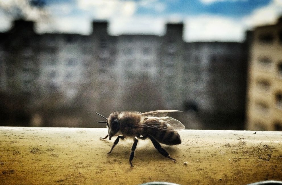PHOTO: A closeup of a bee on a ledge is pictured in this undated stock photo.
