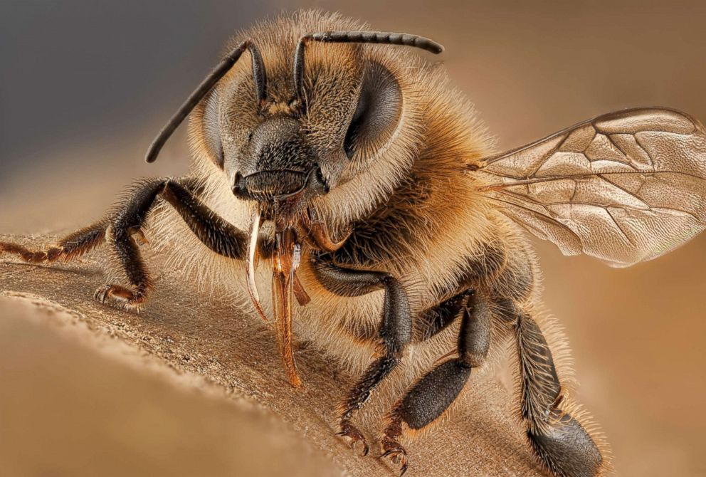 PHOTO: A honey bee is pictured in this undated stock photo.