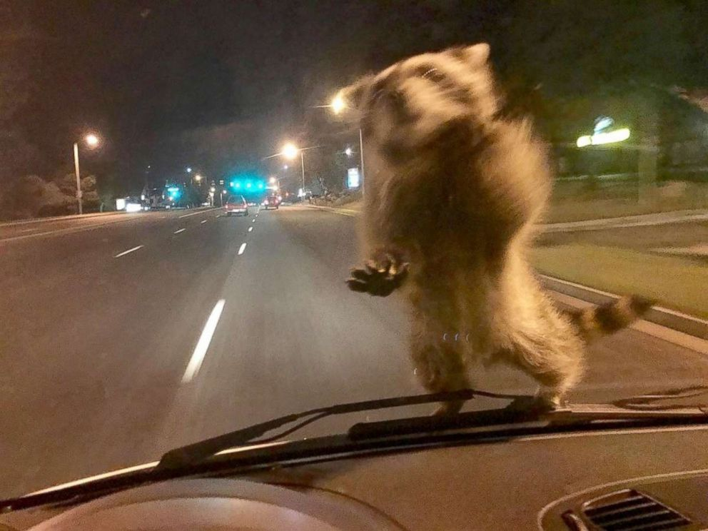 PHOTO: A raccoon in Colorado Springs went for a ride-along with police after jumping on the windshield of a patrol car, Sept. 21, 2017.