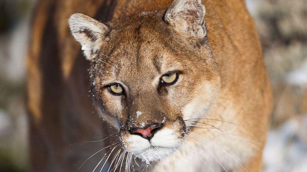 01da61edb333 Trail runner in Colorado kills mountain lion  in self-defense ...