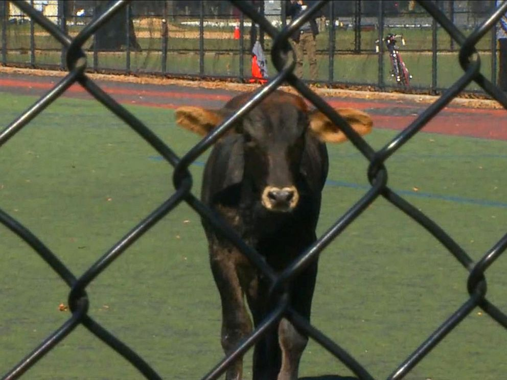 PHOTO: The bull looks through a fence after it got loose and ended up in Prospect Park in Brooklyn, New York, Oct. 17, 2017.