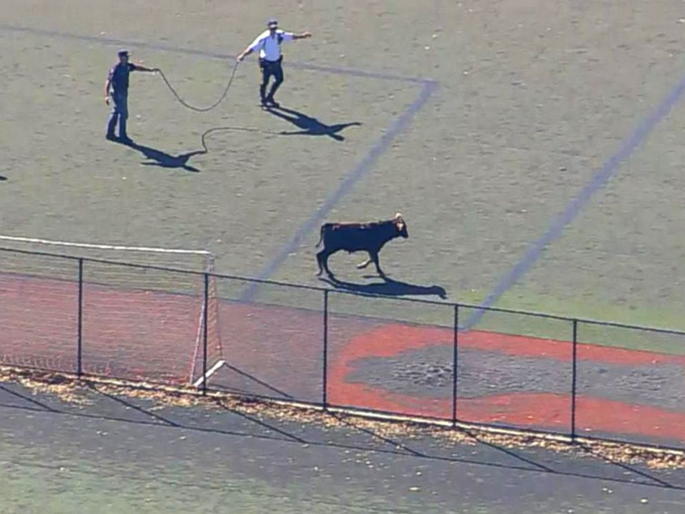 PHOTO: Officers attempt to corral a loose bull running free on a field in Prospect Park in Brooklyn, New York, Oct. 17, 2017.