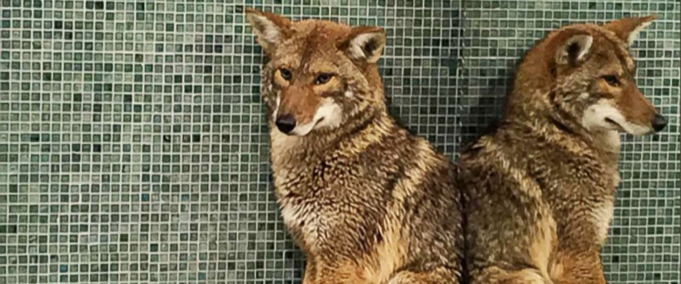 PHOTO: Employees of the Music City Center in Nashville were able to lock a coyote who ran past the security checkpoint in a mens bathroom on Jan. 13.