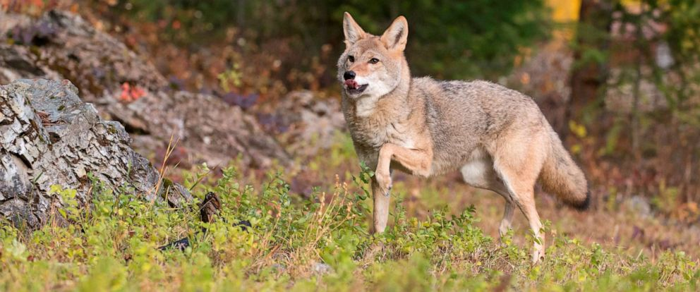 PHOTO: An adult coyote stands at the edge of a woodland in Montana, Oct. 12, 2018.
