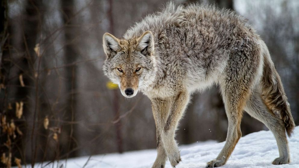 PHOTO: A coyote is seen in this stock photo.