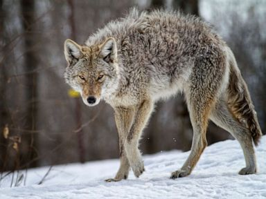 Father strangles coyote that attacked his child