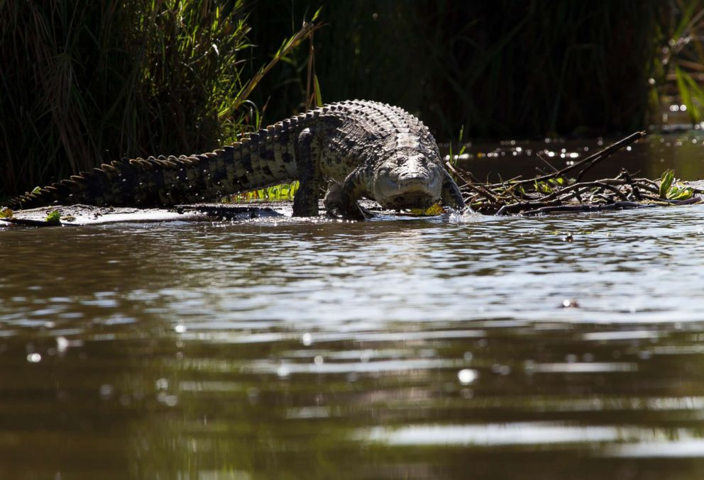 PHOTO: A crocodile is pictured in this undated stock photo coming into the water from a shore.  These are the animal attacks that happened this week crocodile gty mt 180607 hpEmbed 22x15 992