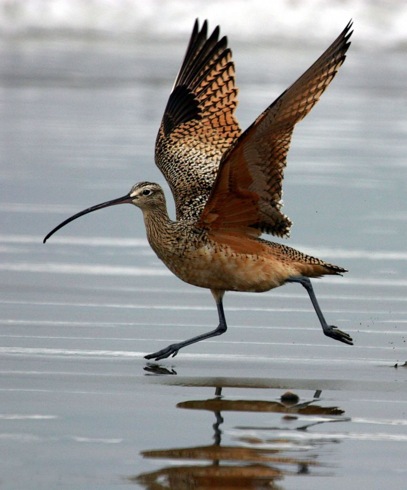 PHOTO: Long-billed Curlew on wet sand at Morro Strand State Beach, Morro Bay, Calif.