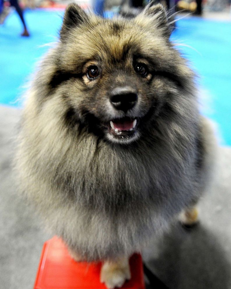 National Dog Show Keeshond