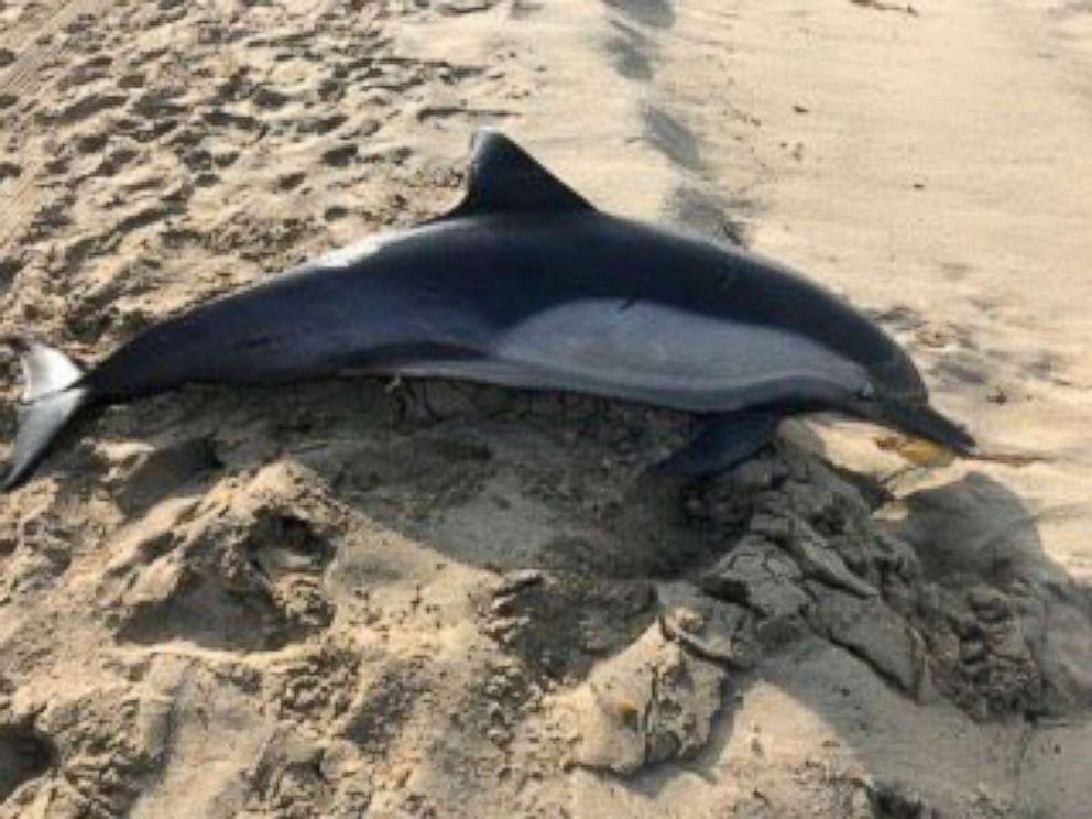 PHOTO: A dolphin found dead in Manhattan Beach, California, Nov. 16, 2018.