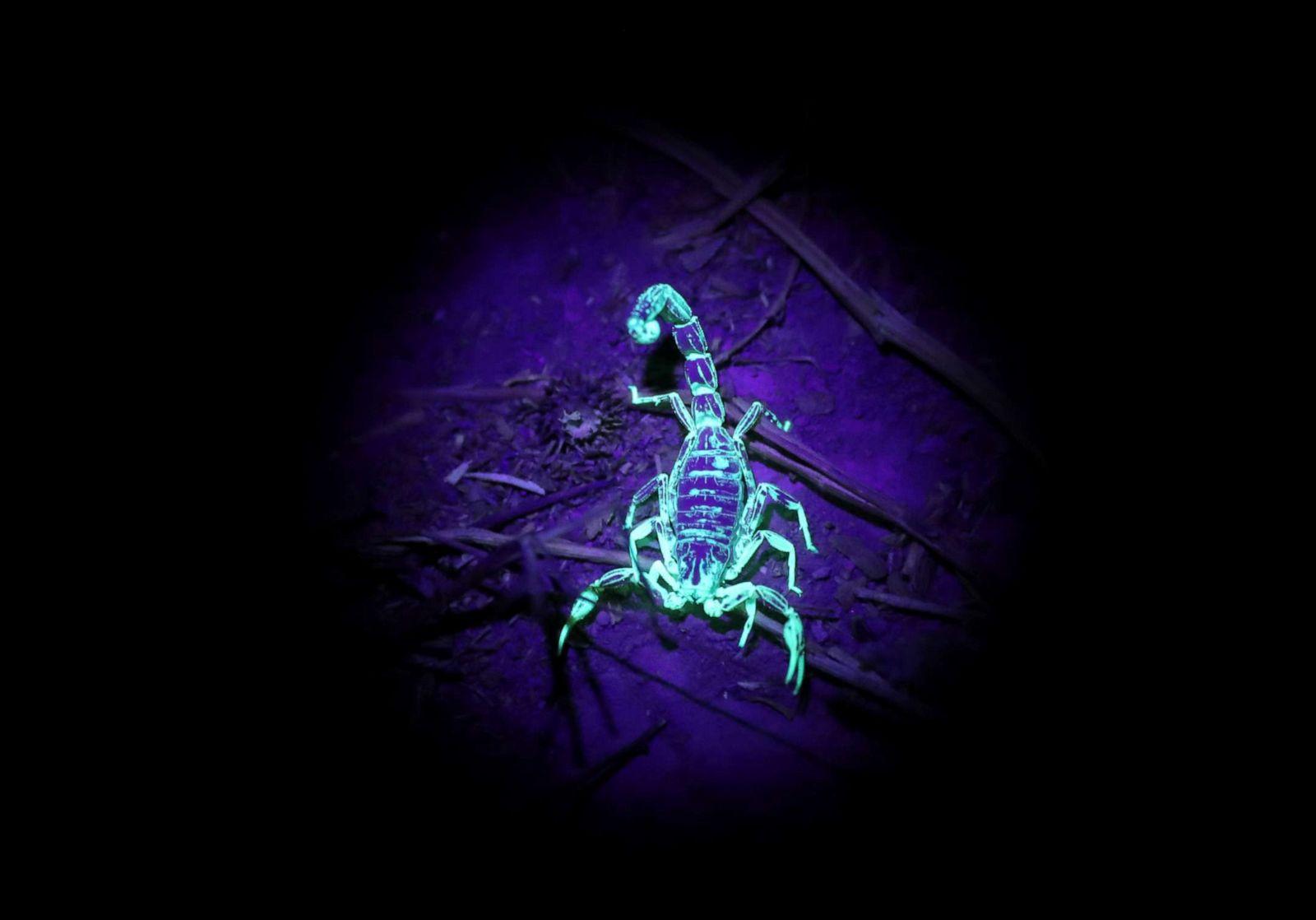 Venomous Deathstalker scorpion glows in ultraviolet light