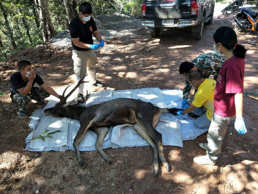 PHOTO: Thai forest rangers examine a dead deer found at Khun Sathan National Park in the north province of Phrae, Thailand, Nov. 25, 2019.