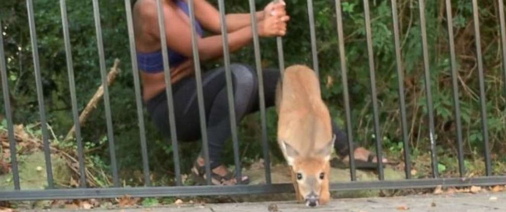 PHOTO: In a video posted to Instagram, jogger Chloe Dorsey rescues a deer from a fence at Georgias Stone Mountain Park, Sept. 17, 2019.