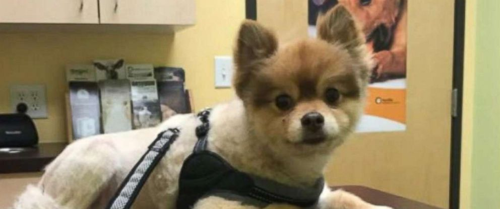 PHOTO: A Pomeranian dog named Alejandro is pictured in this undated photo.