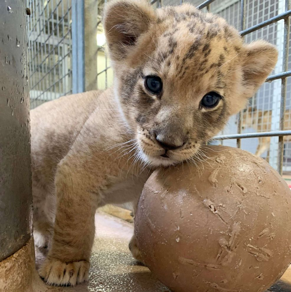 After months of careful planning, a lion cub makes its ...