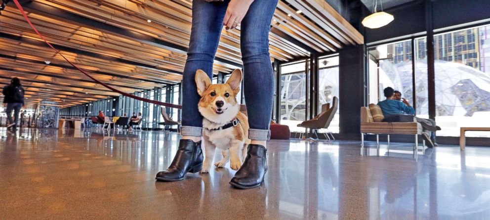 PHOTO: A dog belonging to an employee eyes a visitor inside Amazons Day One building in downtown Seattle, Sept. 27, 2017.