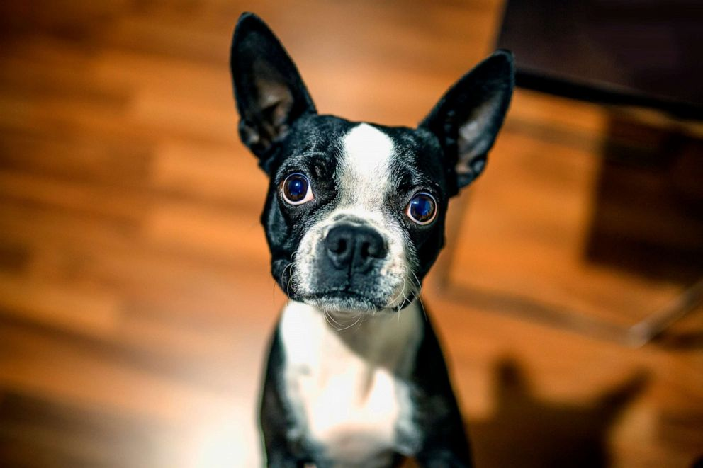 PHOTO: In this undated file photo, a Boston terrier is shown.