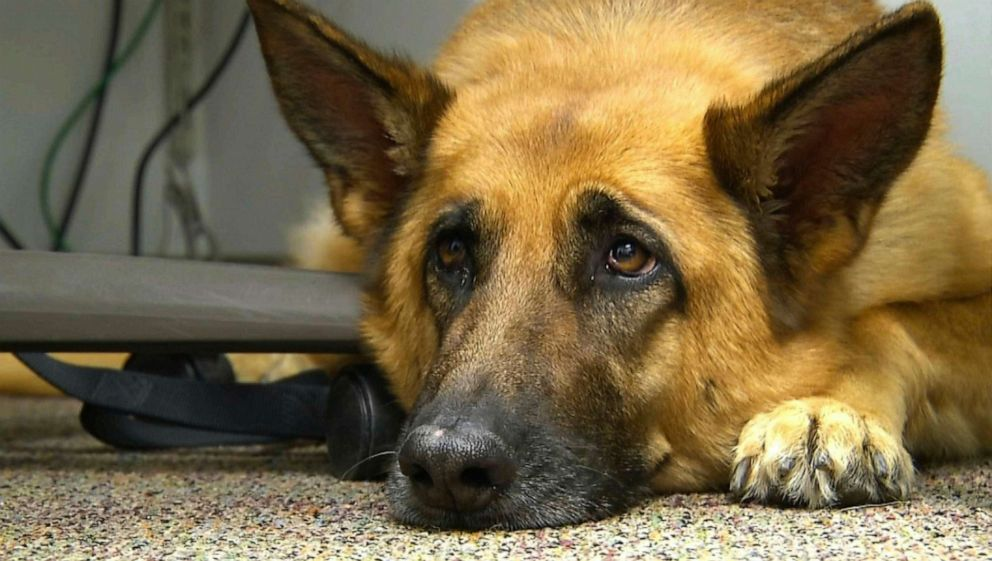 PHOTO: This Feb. 18, 2014, file photo shows Lexy, a therapy dog at Fort Bragg, N.C.