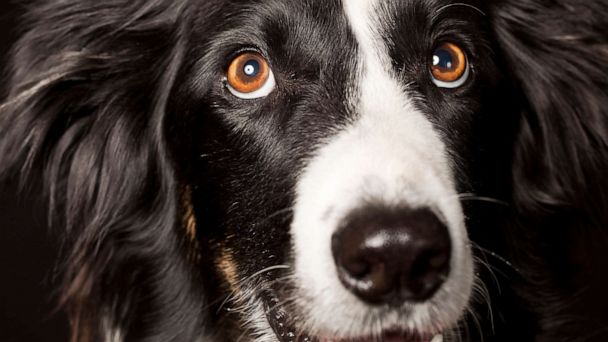 Dogs developed a range of facial expressions after humans domesticated them, study says