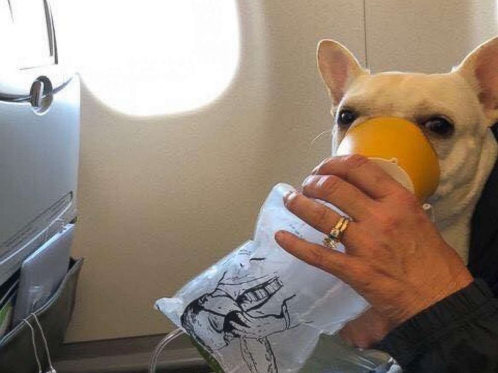 Darcy the French bulldog owned by Steven and Michele Burt of Westminster Mass. receives oxygen on a Jet Blue flight Thursday
