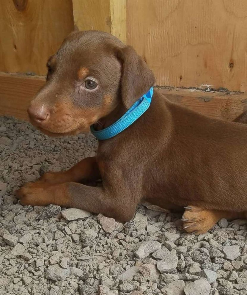 PHOTO: Two 6-week-old Doberman Pinscher puppies were among 15 dogs seized from an unlicensed breeder in County, Pennsylvania, after at least three were illegally debarked.