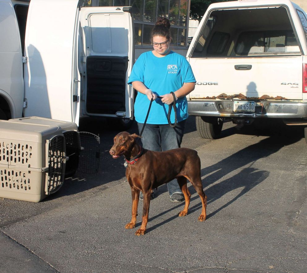 PHOTO: An adult Doberman Pinscher was among 15 dogs seized from an unlicensed breeder in County, Pennsylvania, after at least three were illegally debarked.