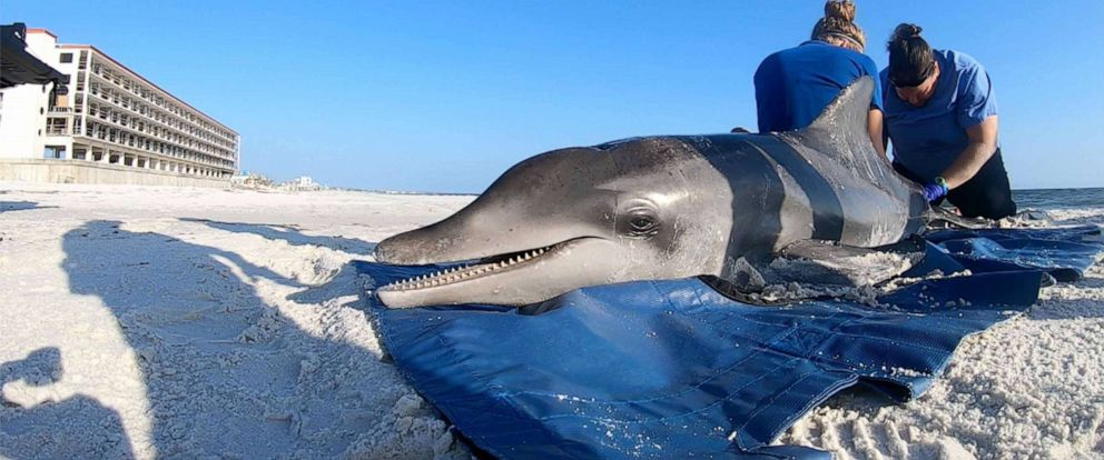 PHOTO: Blood samples are retrieved from a (deceased) rough-toothed dolphin on May 14, 2019, by volunteer Brittany Baldrica, left, and Dr. Michelle Schisa after the animal was found ailing and beached on Mexico Beach in the Florida panhandle.