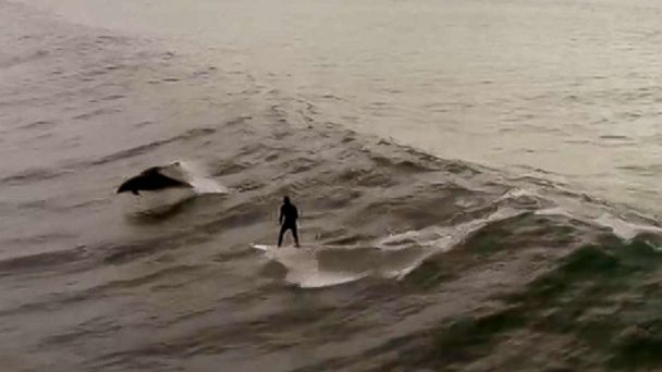 Drone captures California man surfing with dolphins