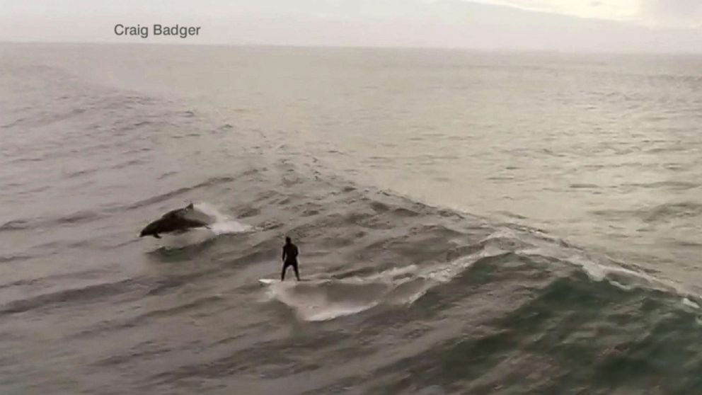 PHOTO: Craig Badger captured dolphins joining Alden Blair, 27, of Thousand Oaks, as he surfed in Ventura County, California, Jan. 9, 2019.