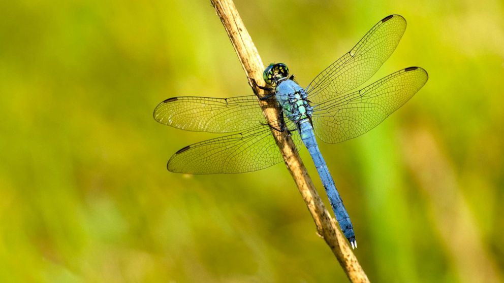 Swarms of dragonflies across 3 states are so large they're showing up on  radar - ABC News