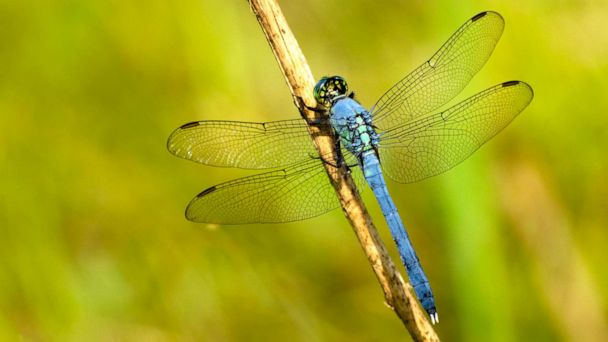 Swarms of dragonflies across 3 states are so large they're showing up on radar
