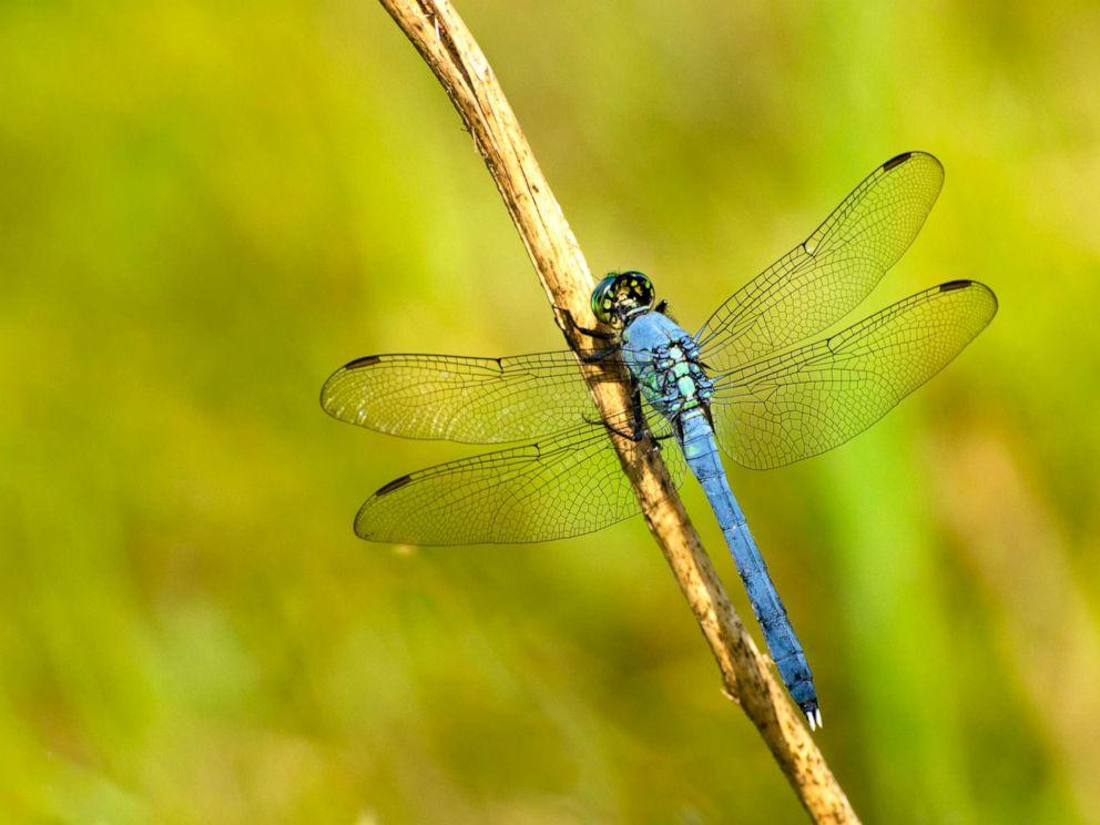 PHOTO: Eastern Pondhawk dragonfly