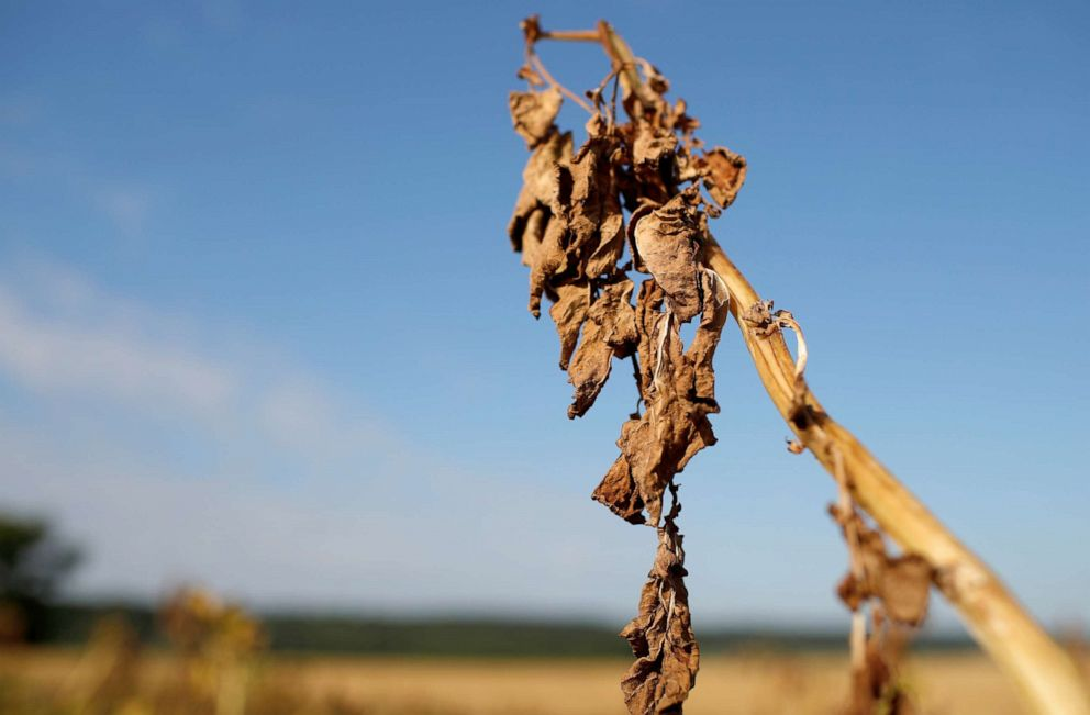 PHOTO: A view shows a sun-dried tomato plant in Ressons-Le-Long as the hot weather prolongs drought conditions in France, Aug. 1, 2019.