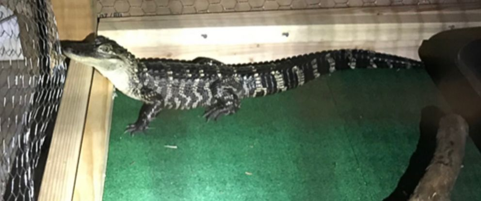 PHOTO: Authorities found an alligator living in the kitchen of a residence in South Coatesville, Penn., Feb. 8, 2019.