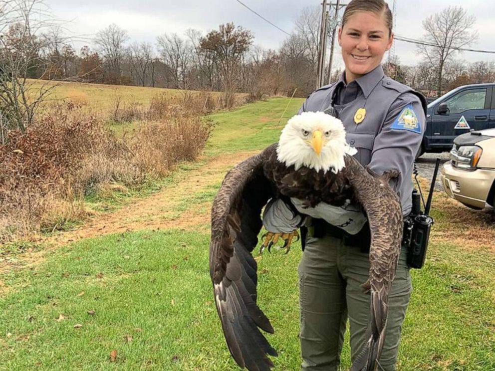 PHOTO: Missouri Department of Conservation Agent Haeley Eichler holds an adult female bald eagle that was rescued after it was shot twice in its wing near Paris, Missouri.