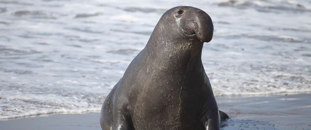 PHOTO: A male Elephant seal at the Ano Nuevo State Reserve, Jan. 13, 2010, in California.