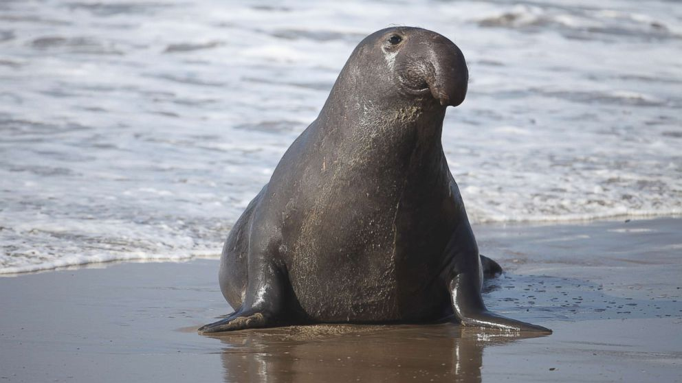 A male Elephant seal at the Ano Nuevo State Reserve, Jan. 13, 2010, in California.