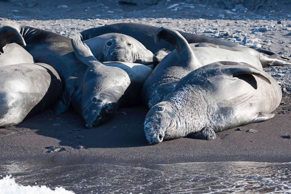 PHOTO: Juvenile Northern elephant seals rest on a beach on Guadalupe Island, Mexico.