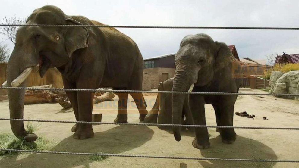 ABC News follows Denver Zoo's 2 newest rare Asian elephants