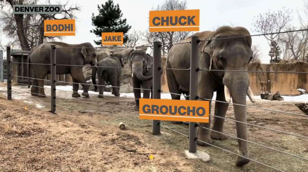 PHOTO: Nearly six months after arriving at the zoo, Chuck and Jake were finally introduced to the Zoos three other male elephants, Groucho, Bodhi and Billy.