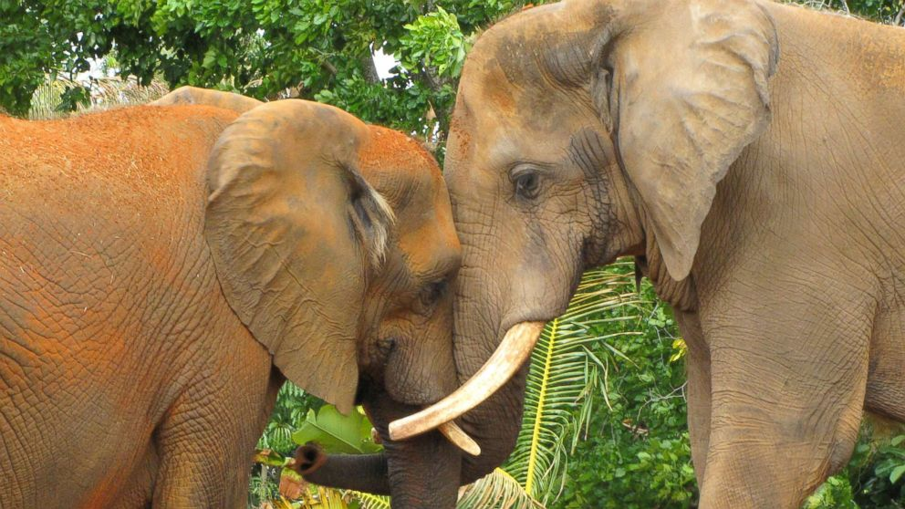Two elephants show tender affection at the Miami Metro Zoo in Florida in this undated stock photo.