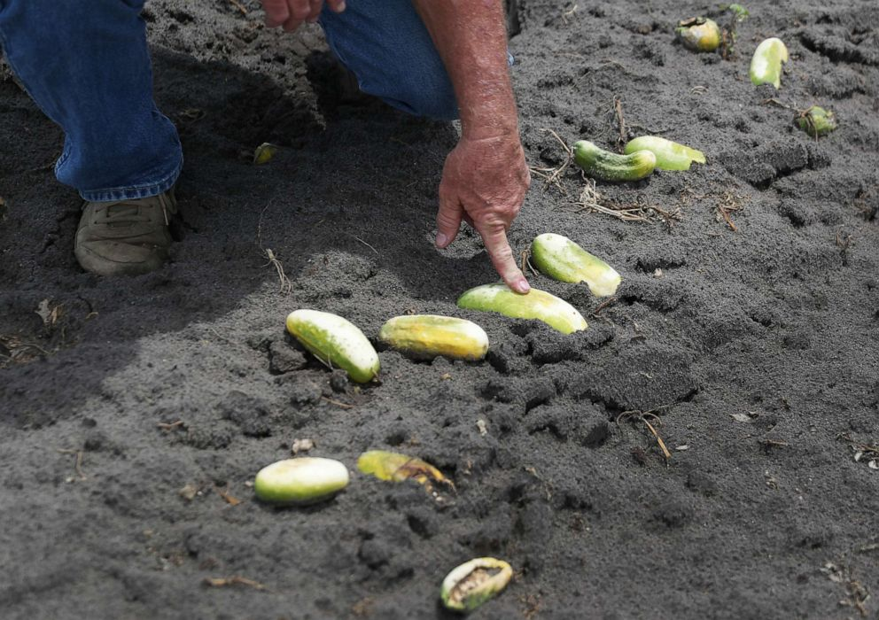 PHOTO: Hank Scott of Long & Scott Farms stands in a field of rotting cucumbers that he was unable to harvest due to lack of demand on April 30, 2020, in Mount Dora, Fla.